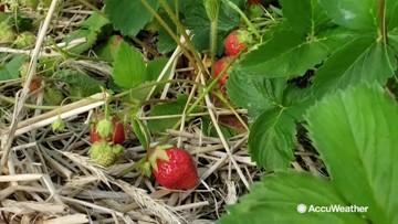 Strawberry season is underway across the country