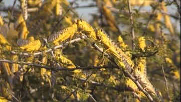 Swarms of desert locusts plague Kenya