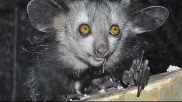 Sixth Finger Discovered on Hand of Bizarre Aye-Aye