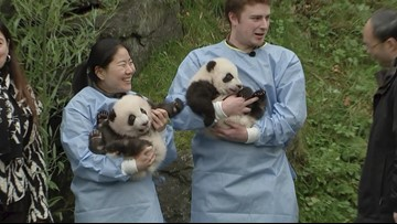 Panda-Monium! Belgium's Giant Pandas Get Their Names