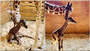 Name April the Giraffe's new calf