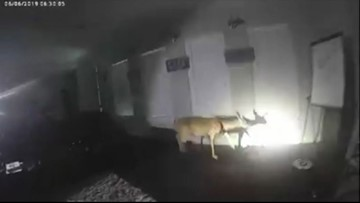 Police find burglar is actually a deer. Here's the bodycam video