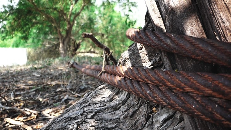 Main ferry pull cable is fastened around a centuries old ebony tree in Los Ebanos, Texas
