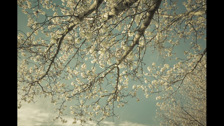 The Curse of the Bradford Pear