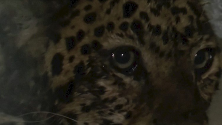 One of Three Leopards Still at Large in Residential Area After Escaping Zoo