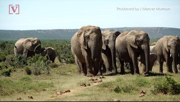 Elephants Are More Stressed & Irritable Around High Numbers of Wildlife Tourists: Study