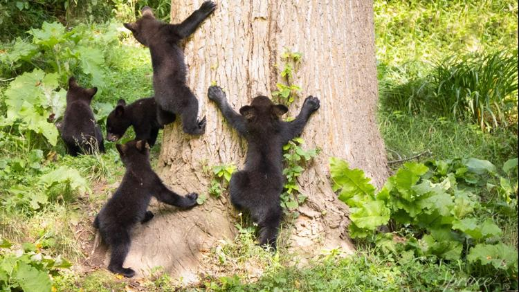 WATCH: Mother bear with 5 cubs is a rare sight!