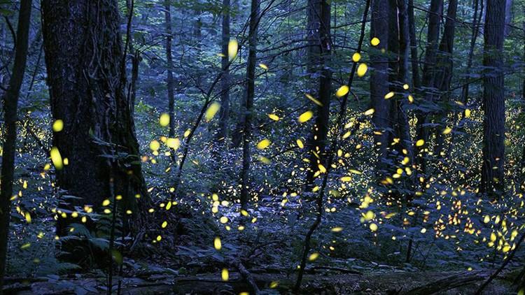 GSMNP synchronous fireflies event returns through June 8 at Elkmont