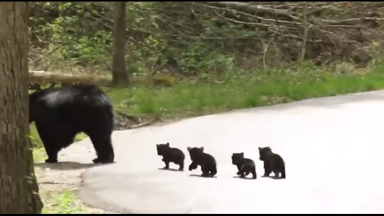 Momma bear and four cubs