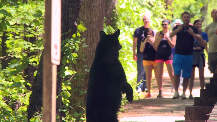 Black bear stands hind legs Sevier County tourists Great Smoky Mountains