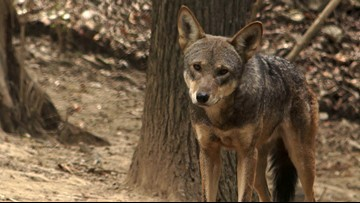Red wolf experiment left lasting legacy in Smokies