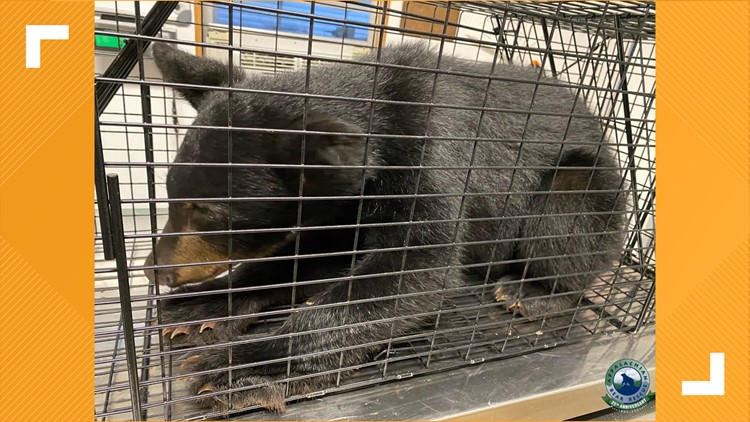 Appalachian Bear Rescue welcomes new female cub, after finding her next to dead sibling