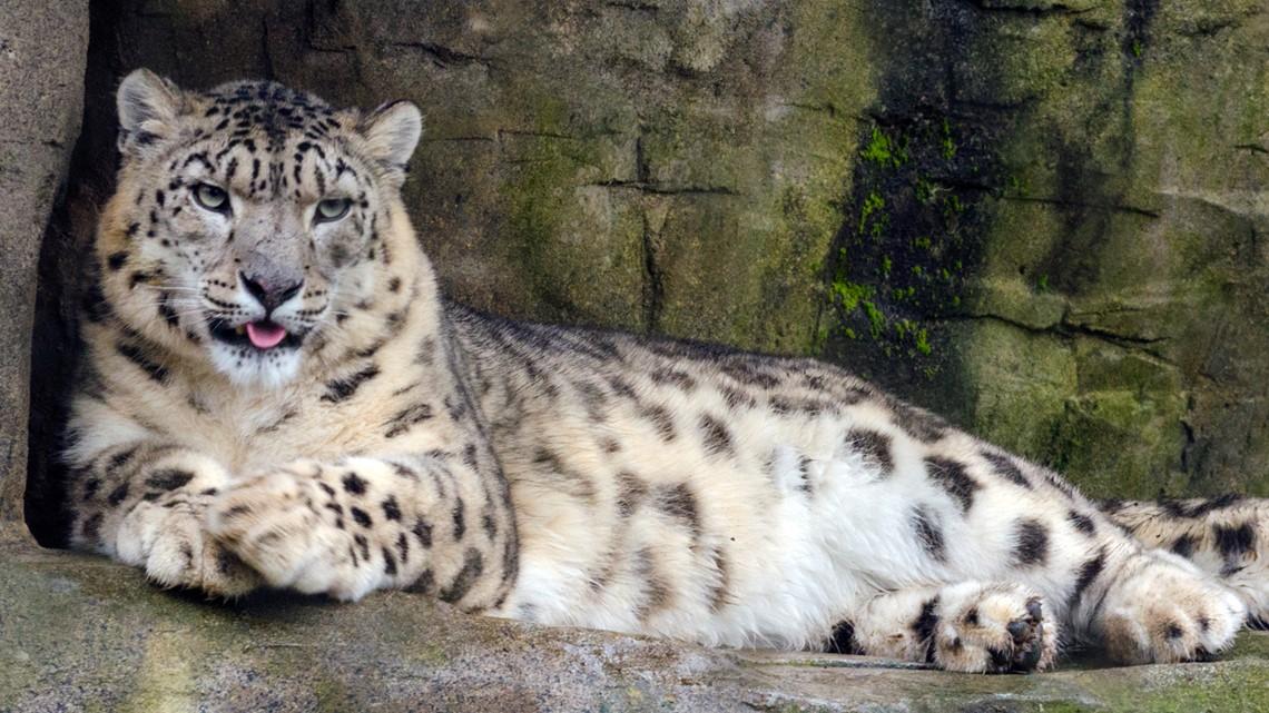 Louisville Zoo getting new snow leopard
