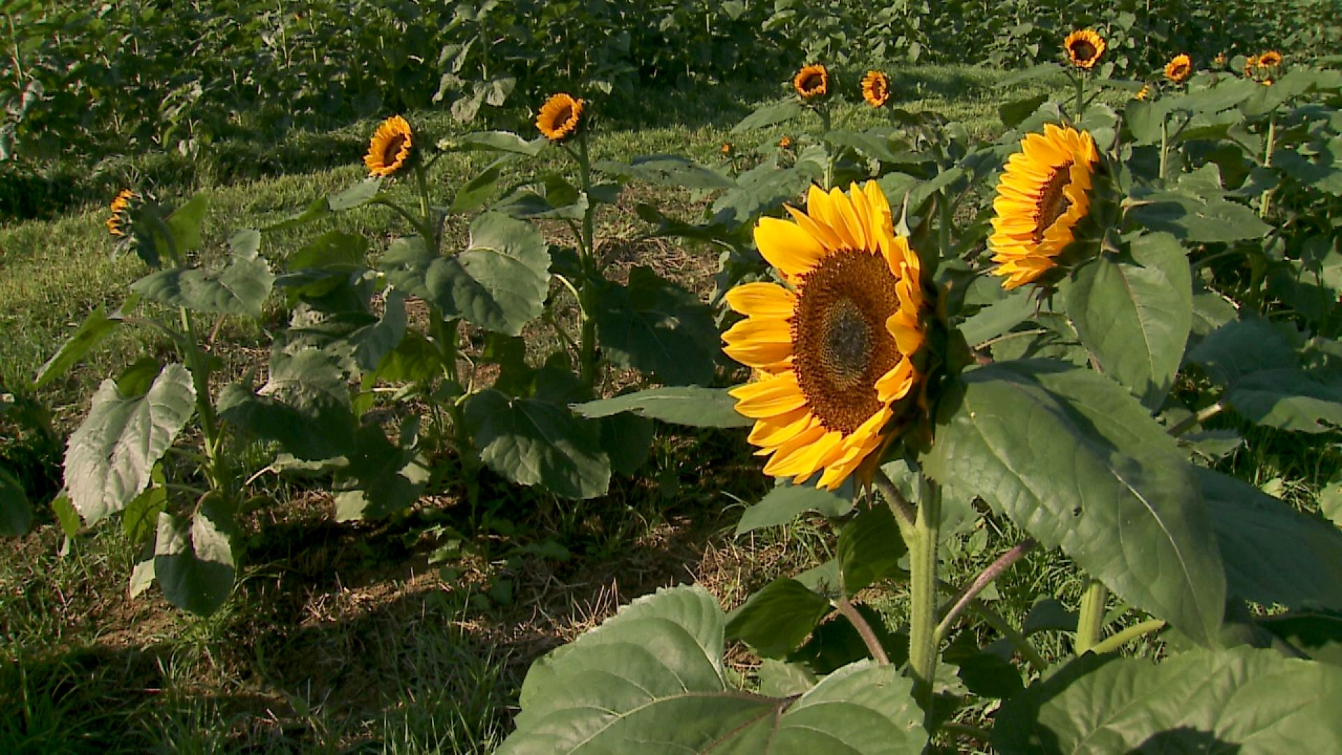 Sunflower Filed Opens At Cornucopia Farm Whas11 Com