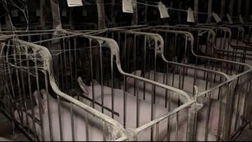 PETA calls for investigation of Indiana pig supplier