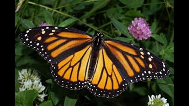 With the annual monarch butterfly migration approaching, you can help them on their way.