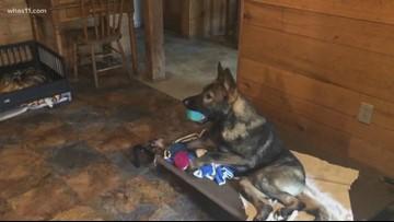 Foster dog gets new wheelchair