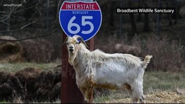Celebrate I-65 goat for Houdini Day