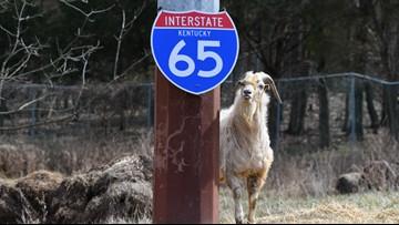 Houdini Day celebrates famous interstate goat