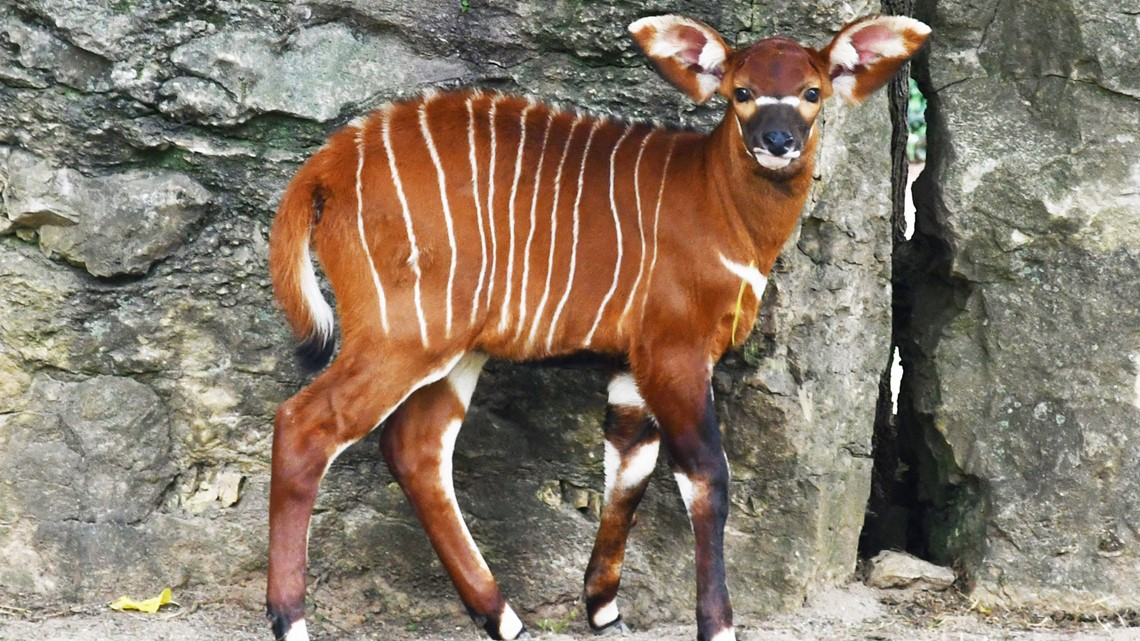 What is a Bongo? Meet the newest baby at the Louisville Zoo