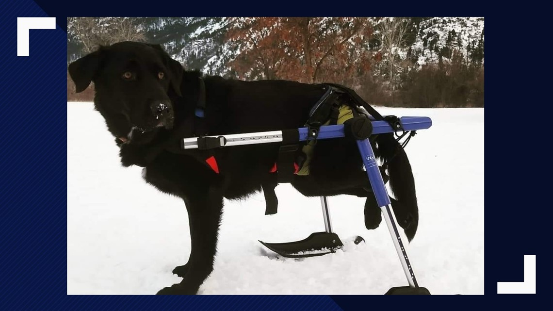 Non-profit provides custom wheelchairs for animals in need
