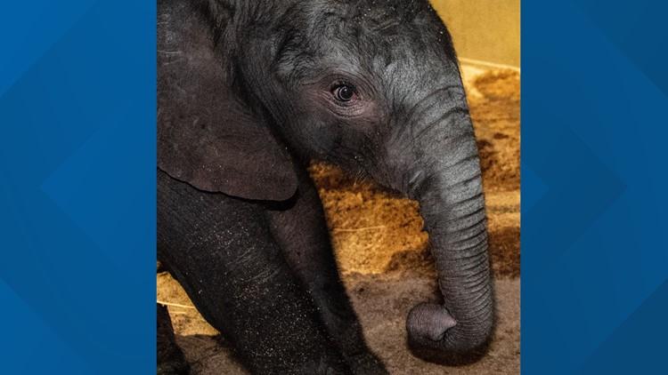 Louisville Zoo Welcomes New Baby Elephant Whas11 Com