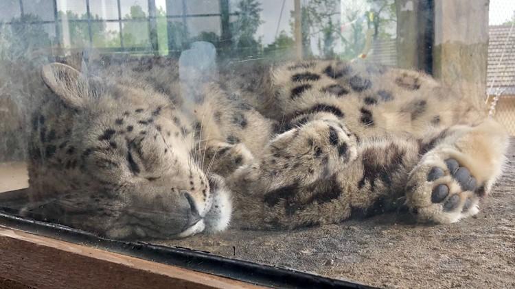 Louisville Zoo snow leopard