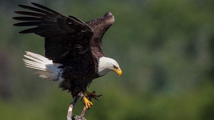 Bald Eagle 8499 Ron Dudley