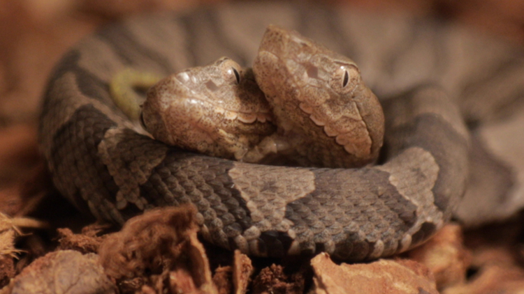 Rare two-headed copperhead snake on display in Frankfort | whas11 com