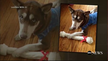 Sinatra the blue-eyed Brooklyn husky's mysterious journey and miraculous reunion