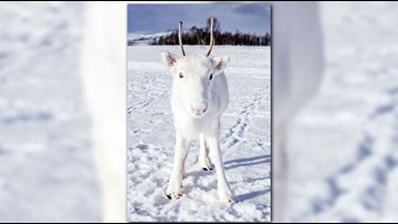 Snow deer! Stunning photographs capture rare white reindeer in Norway
