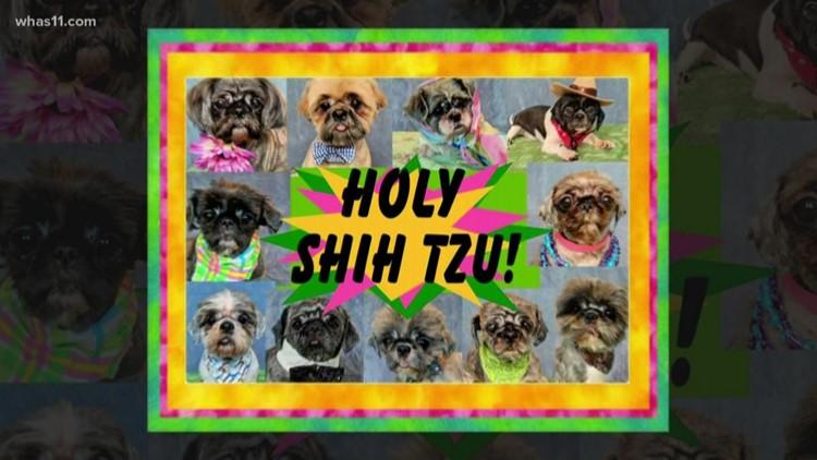 Holy Shih Tzu 11 Dogs Up For Adoption Whas11com
