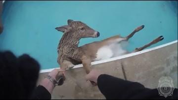 Lexington Police officer helps save deer stuck in swimming pool