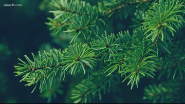 How do evergreen trees stay green all year?