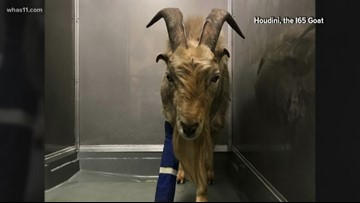 Beloved goat that was injured in traffic mishap gets new home