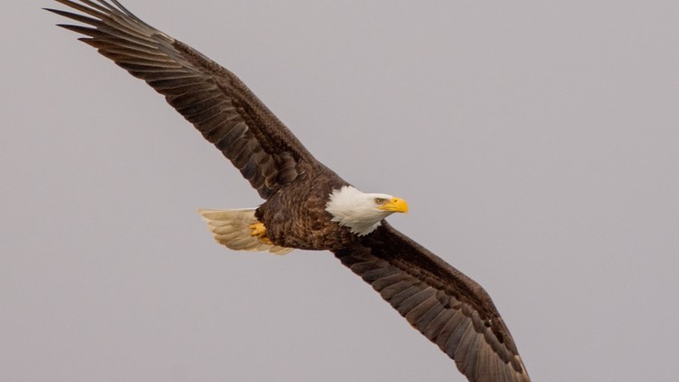 'It is truly beautiful': How bald eagles returned to Indiana