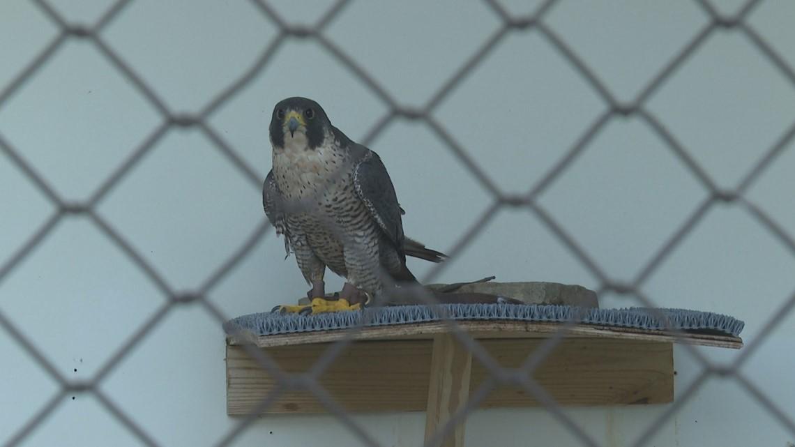 Raptor Rehab treating birds ingesting poison in Louisville's east end