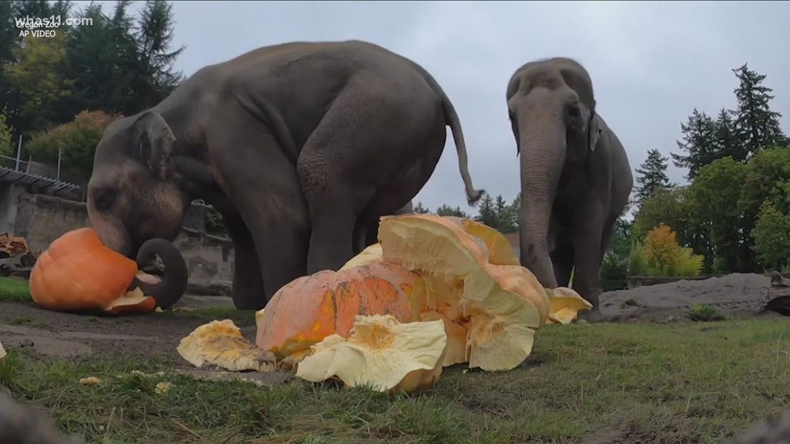 VERIFY: Yes, it's generally safe for wildlife to eat discarded pumpkins