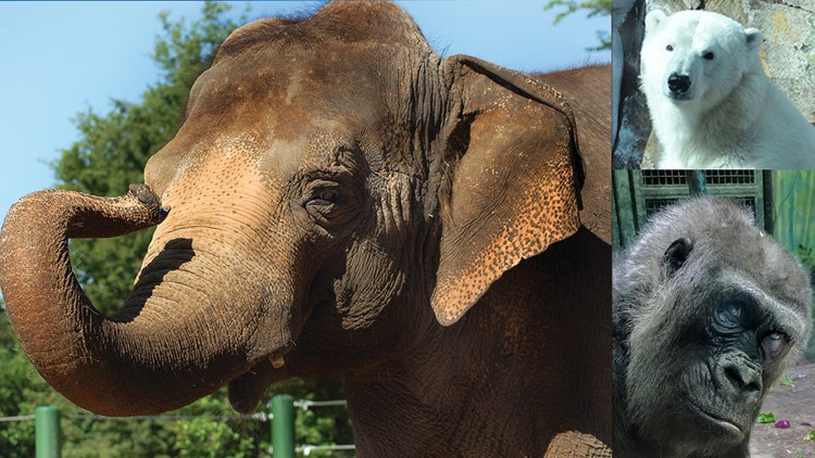 Birthday party rescheduled for Gorilla Helen, polar bear and an elephant at Louisville Zoo