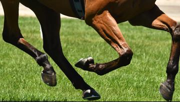 Do horses with broken legs have to be euthanized?