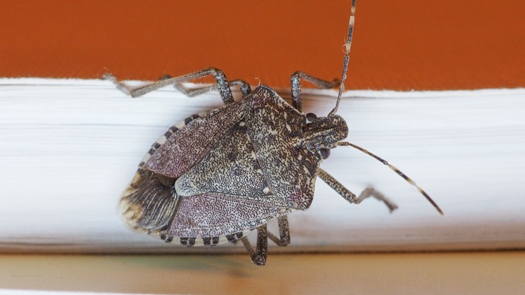 'Don't step on them': How to safely remove stink bugs
