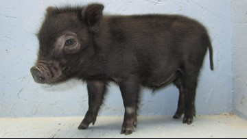 FOUND: Baby Pig returned to local pet store unharmed