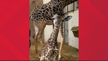 Cincinnati Zoo welcomes new baby giraffe