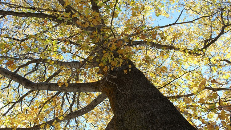 Why are some trees losing leaves early?