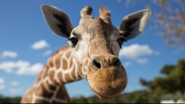 Friendly but fierce: Getting to know giraffes