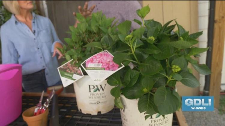 Know your Hydrangeas with Wallitsch Garden Center