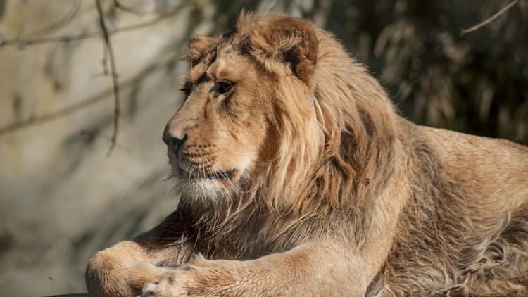 Columbus zoo's African lion, Tomo, dies at 15   whas11.com