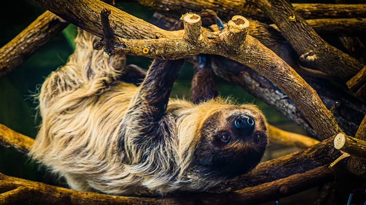 TIckets go on sale for Louisville Zoo's sloth experience