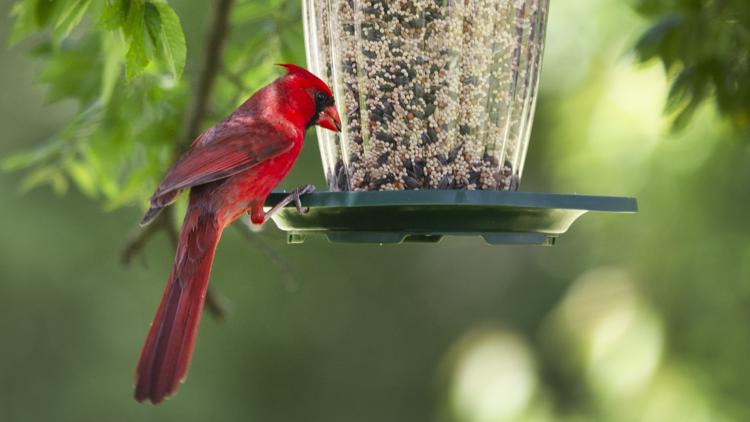 Indiana DNR rules out some possible illnesses in songbird deaths, still trying to find cause