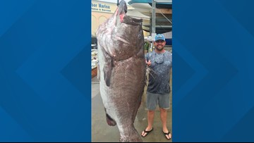 'A big old fish!': 350-pound grouper caught in Florida